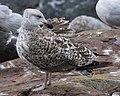 Great Black-backed Gull (Larus marinus) - St. John's, Newfoundland 2019-08-22 (02).jpg