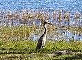 Great Blue Heron - panoramio (8).jpg