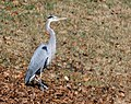 Great Blue Heron VB 2.jpg