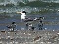 Great Crested Tern Sterna bergii (16354923732).jpg