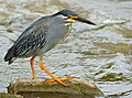 Green-backed Heron (Butorides striata) (13646356265).jpg