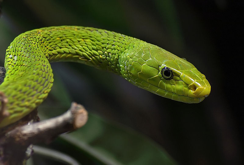 By Orest (Flickr: Green Mamba) [CC BY-SA 2.0], via Wikimedia Commons