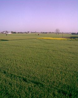View of Farms in Buttar Sivia, Amritsar