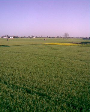 Buttar Sivia - View of Farms in Buttar Sivia, Amritsar