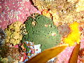 Green sponge at Middle Bank P2277205.JPG