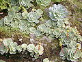 Greenovia diplocycla (Garafía) 04 ies.jpg
