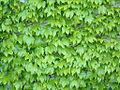 Greenwall leaves.jpg