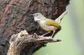 Grey-backed Camaroptera, Camaroptera brachyura, at Pilanesberg National Park, South Africa (15810359919).jpg
