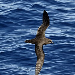 Grey-faced Petrel (32762374113).jpg