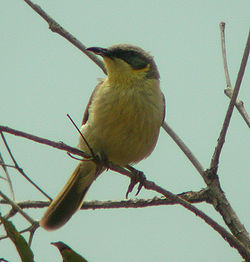 Grey-headed Honeyeater newhaven sep04.jpg