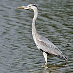 Grey Heron (Ardea cinerea)- Immature at Bharatpur I IMG 5716.jpg