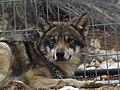 Grey Wolf 04.jpg