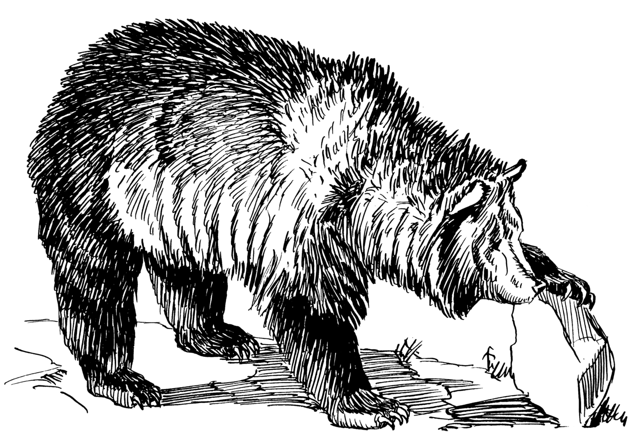 Line Art Bear : File grizzly bear psf wikimedia commons