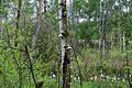 Grosses Torfmoor Birkenwald NW2.jpg