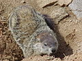 Groundhog of Lenoir, NC, USA.jpg