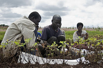 Agriculture in Malawi - Harvesting groundnuts at an agricultural research station in Malawi