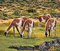 Guanaco - wild llama (28448604749).jpg