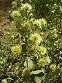 Guiera senegalensis Piry 2.jpg