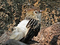 Guira Cuckoo SMTC.jpg