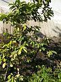 Guyabano tree.jpg