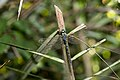 Gynacantha hyalina (43850324624).jpg