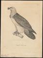 Gypaëtus barbatus - 1700-1880 - Print - Iconographia Zoologica - Special Collections University of Amsterdam - UBA01 IZ18100011.tif
