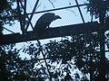 Gyps fulvus in Burgers' Zoo (Park).JPG