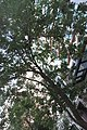 HK 上環 Sheung Wan 裕林臺 U Lam Terrace tree 黃金風鈴木 Tabebuia chrysantha October 2017 IX1 08.jpg