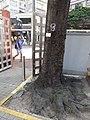 HK 灣仔 Wan Chai 修頓球場 Southorn Playground October 2017 IX1 Candlenut 石栗樹 Aleurites moluccana tree trunk.jpg
