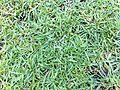 HK 香港 中山紀念公園 Sun Yat Sen Memorial Park 草皮 08 Lawn grass May-2012.jpg