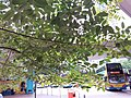 HK CWB 銅鑼灣 Causeway Bay 摩頓台 Moreton Terrace Bus Terminus tree green leaves June 2019 SSG 01.jpg