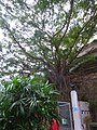 HK Wan Chai Park Cross Lane Bullock Lane entrance Banyan trees stone wall Aug-2015 DSC.JPG