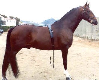 Hackney horse - A Hackney stallion