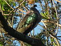 Hadada ibis Bostrychia hagedash Tanzania 0191 cropped Nevit.jpg