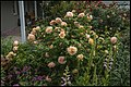 Hall Canberra Rose Garden-1 (38439229006).jpg