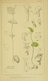 Harry Bolus - Orchids of South Africa - volume III plate 096 (1913).jpg