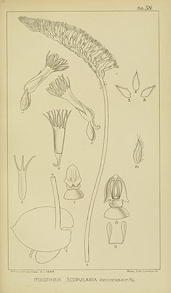 Harry Bolus - Orchids of South Africa - volume II plate 038 (1911).jpg