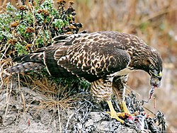 Hawk eating prey edit03.jpg