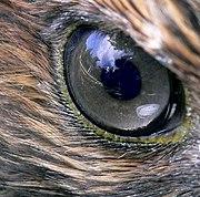 Auge eines Rotschwanzbussards (Buteo jamaicensis)