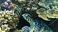 Hawksbill sea turtle 2020.jpg