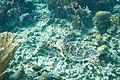 Hawksbill turtle Eretmochelys imbriocota (2407688175).jpg