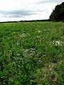 Heading east on the edge of a sugar beet field - geograph.org.uk - 558476.jpg