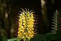 Hedychium gardnerianum - Flores (Azores).JPG