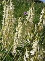 Hedysarum sulphurescens (5172164215).jpg
