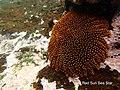 Heliaster cumingi 17 May Tagus Cove snorkel (47927487026).jpg