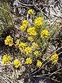 Helichrysum italicum spp serotinum.004 - Islas Cies.JPG