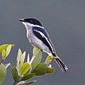 Hemipus picatus -Knuckles Forest Reserve, Sri Lanka-8.jpg