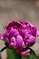 "Herbaceous peony ""Kasyoku-no-ten"" - Flickr - nekonomania.jpg"