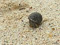Hermit crab - Flickr - pellaea.jpg