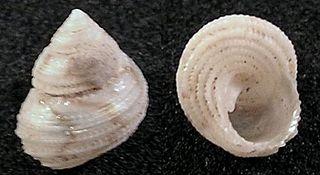 <i>Herpetopoma instrictum</i> species of mollusc